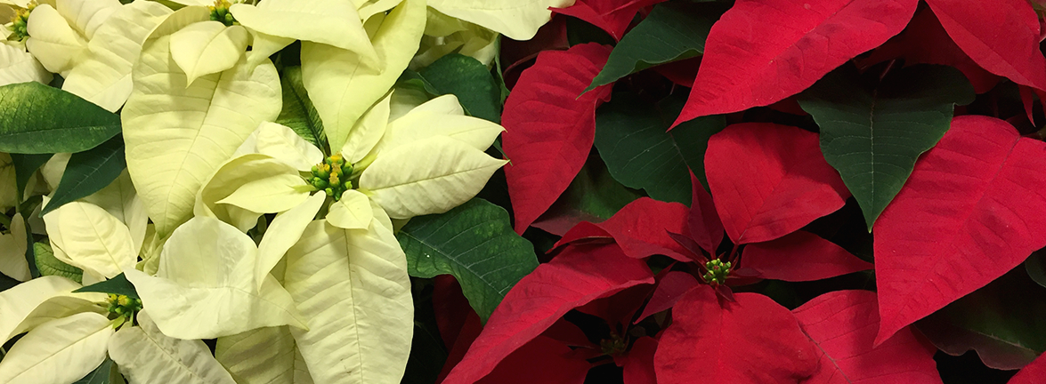 cgc_home_poinsettias
